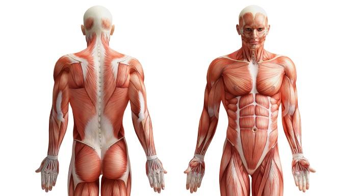 Was sind große Muskelgruppen?