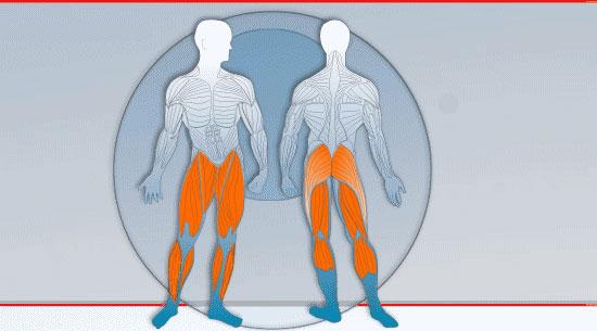 Muskeln Beine